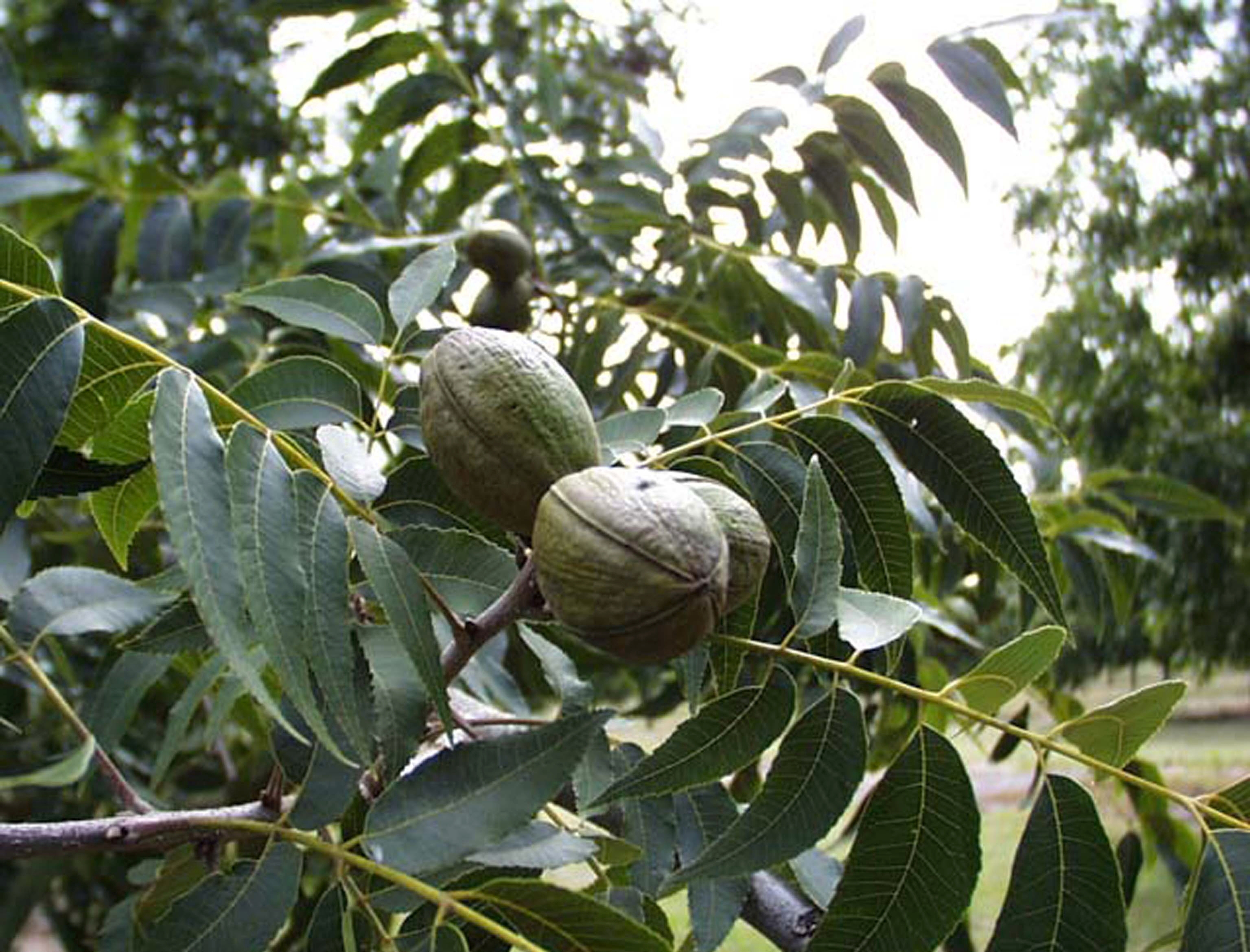 Carya Illinoinensis Hardy Pecan Tree Eco Landscaping