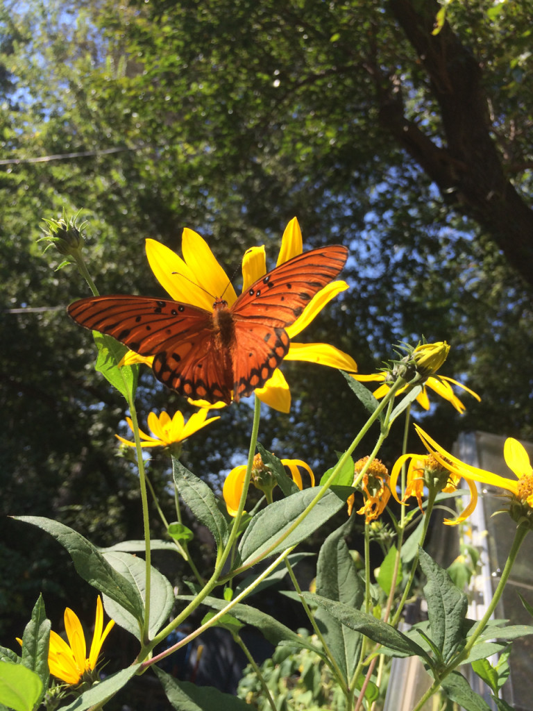 butterfly on sunroot