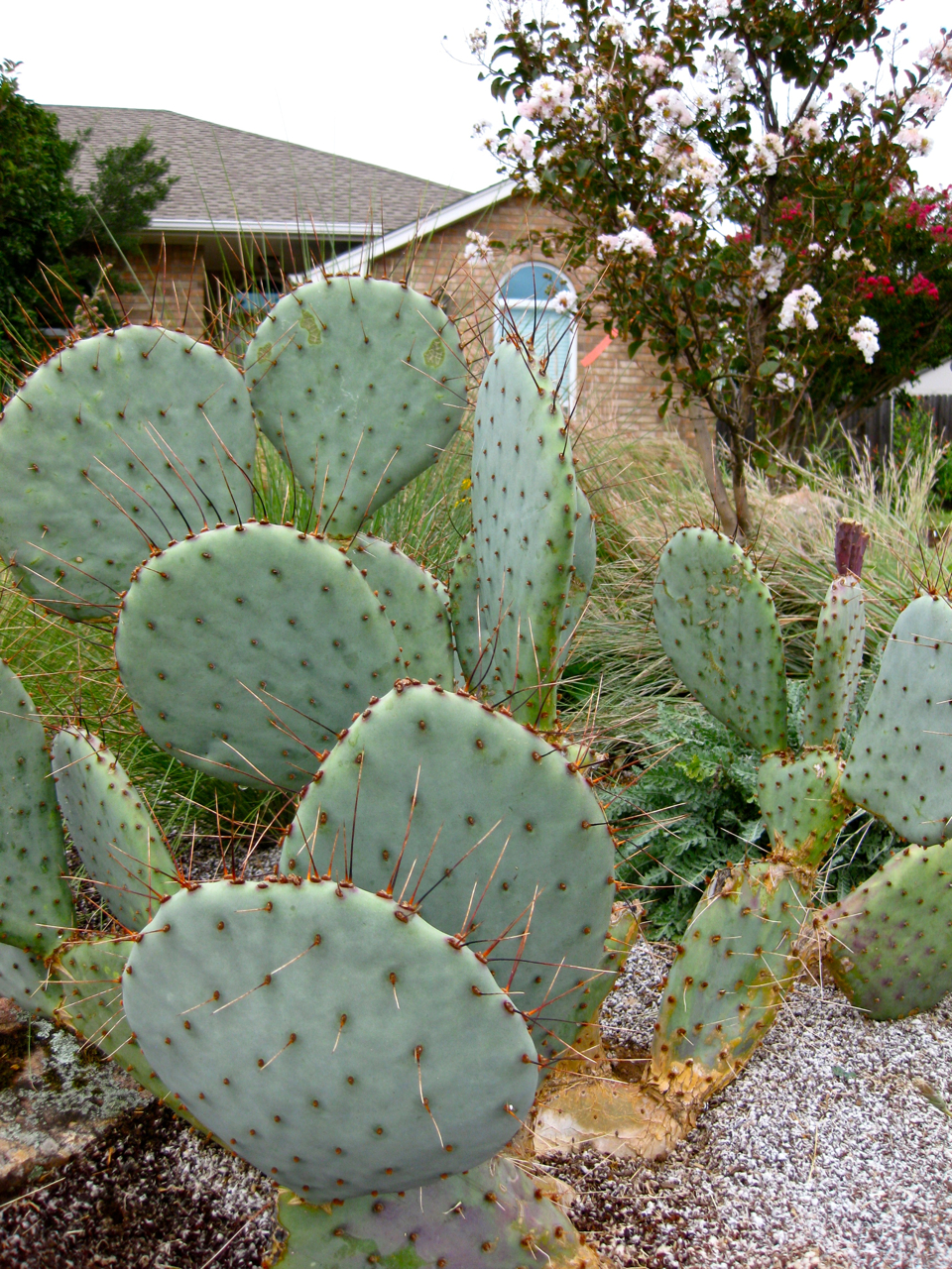 design outdoor landscaping hardscaping prickly pear cactus