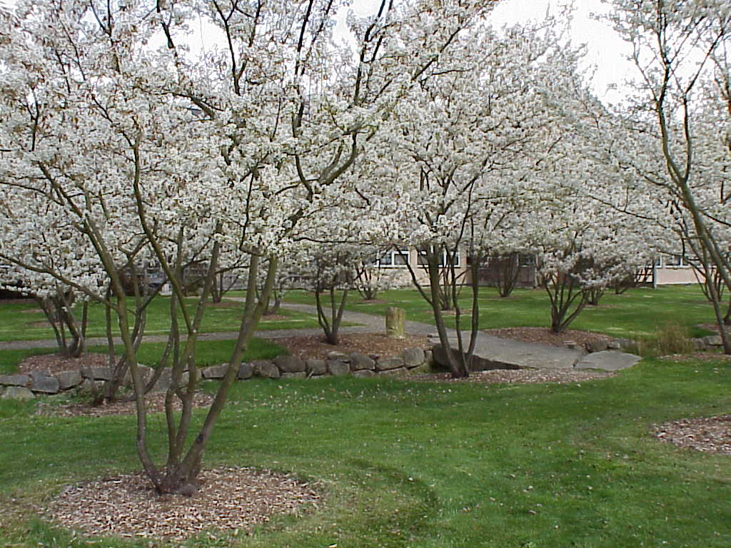 Amelanchier x grandiflora autumn brilliance eco landscaping - Planting fruit trees in the fall a garden full of vigor ...