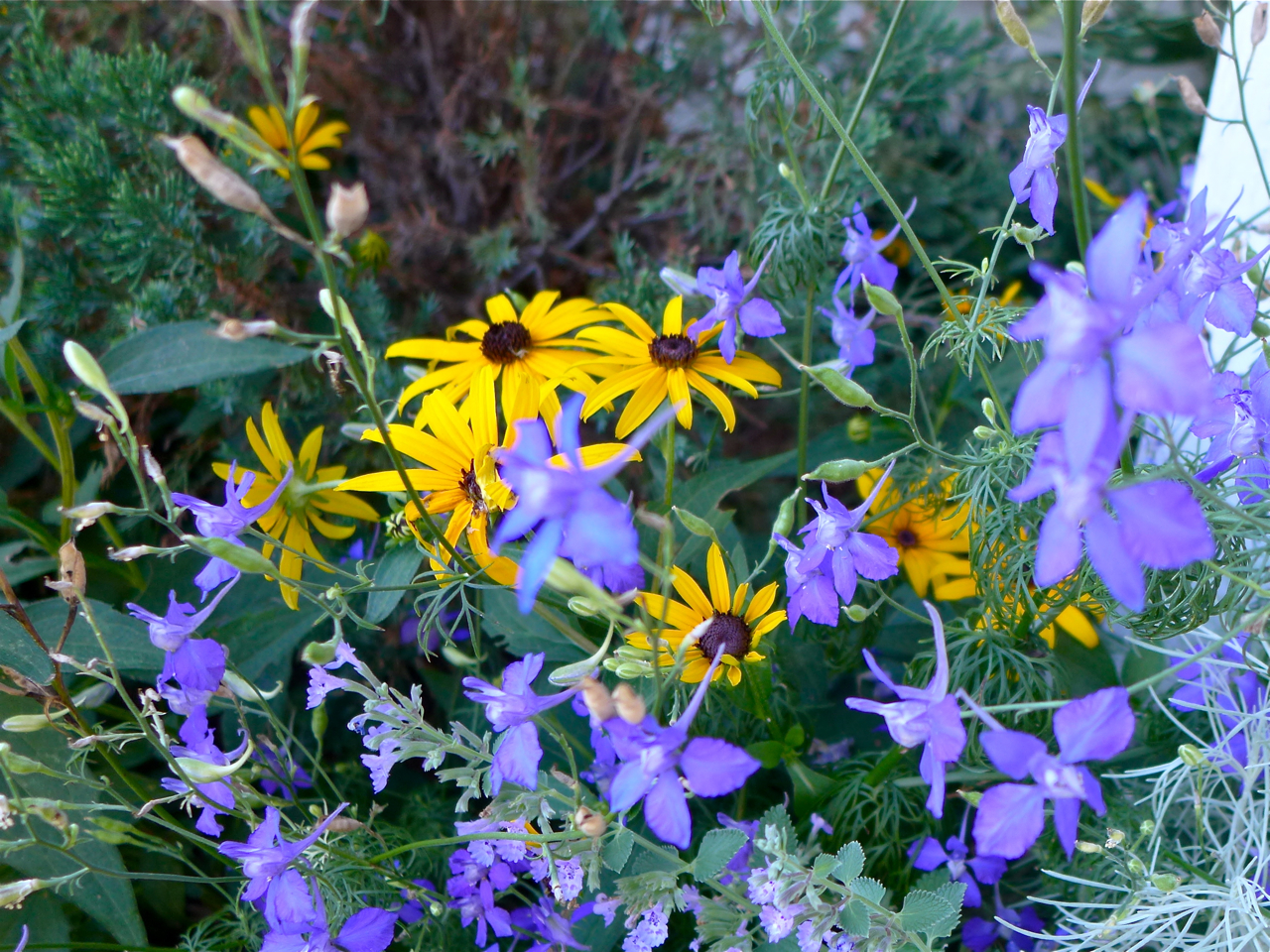 Native plants eco landscaping type perennial origin native to central and eastern us including some southern and eastern oklahoma counties exposure full sun to part shade publicscrutiny Image collections