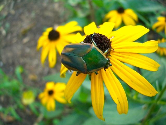 Rudbeckia f with beetle