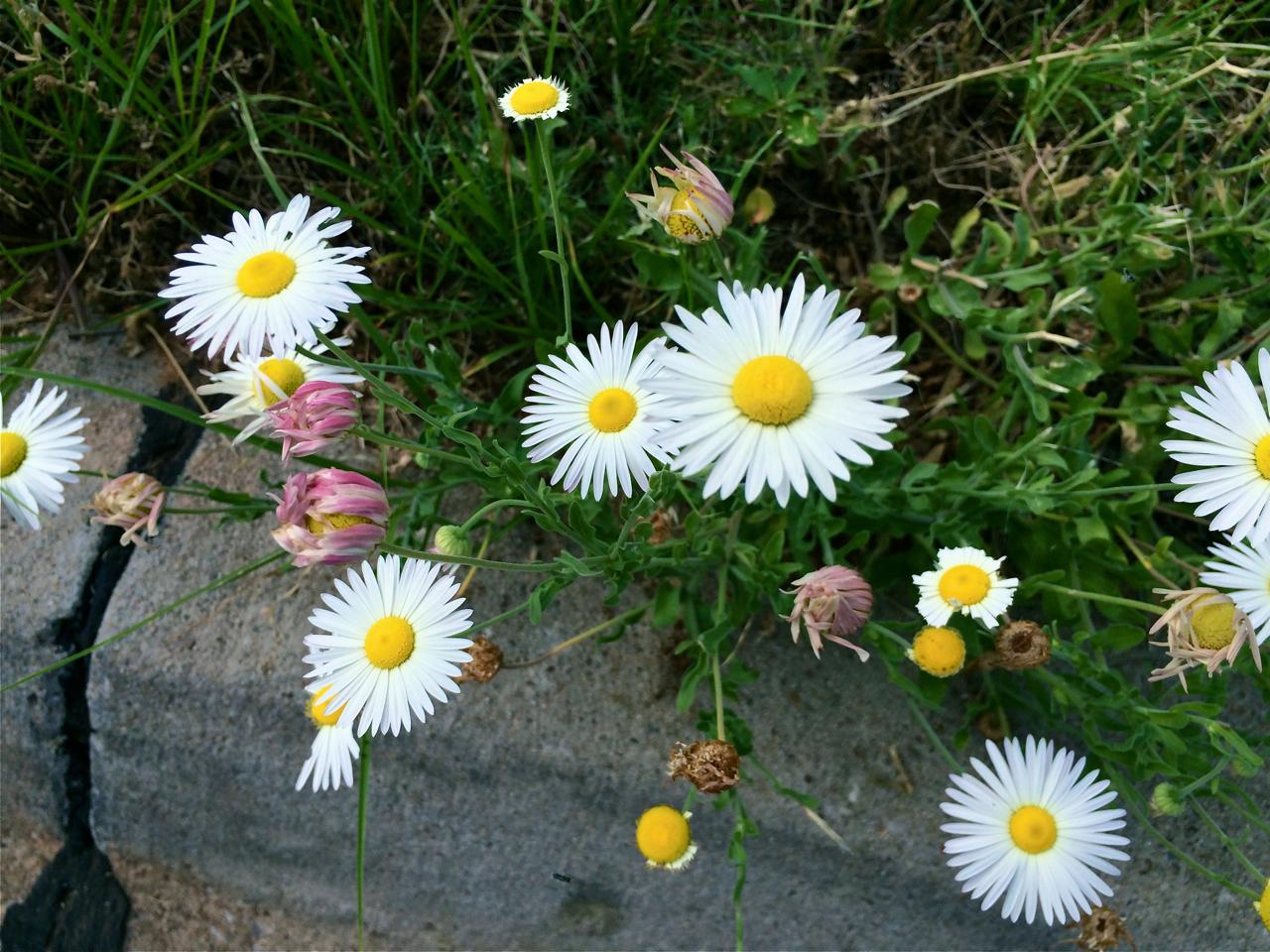 lazy daisy