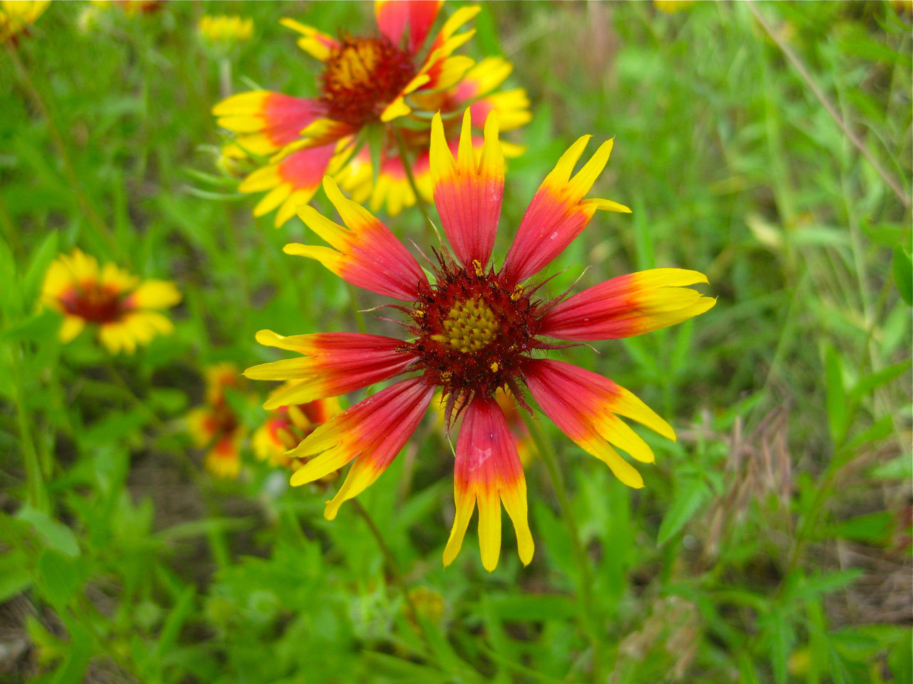 native oklahoma wildflowers | Eco Landscaping