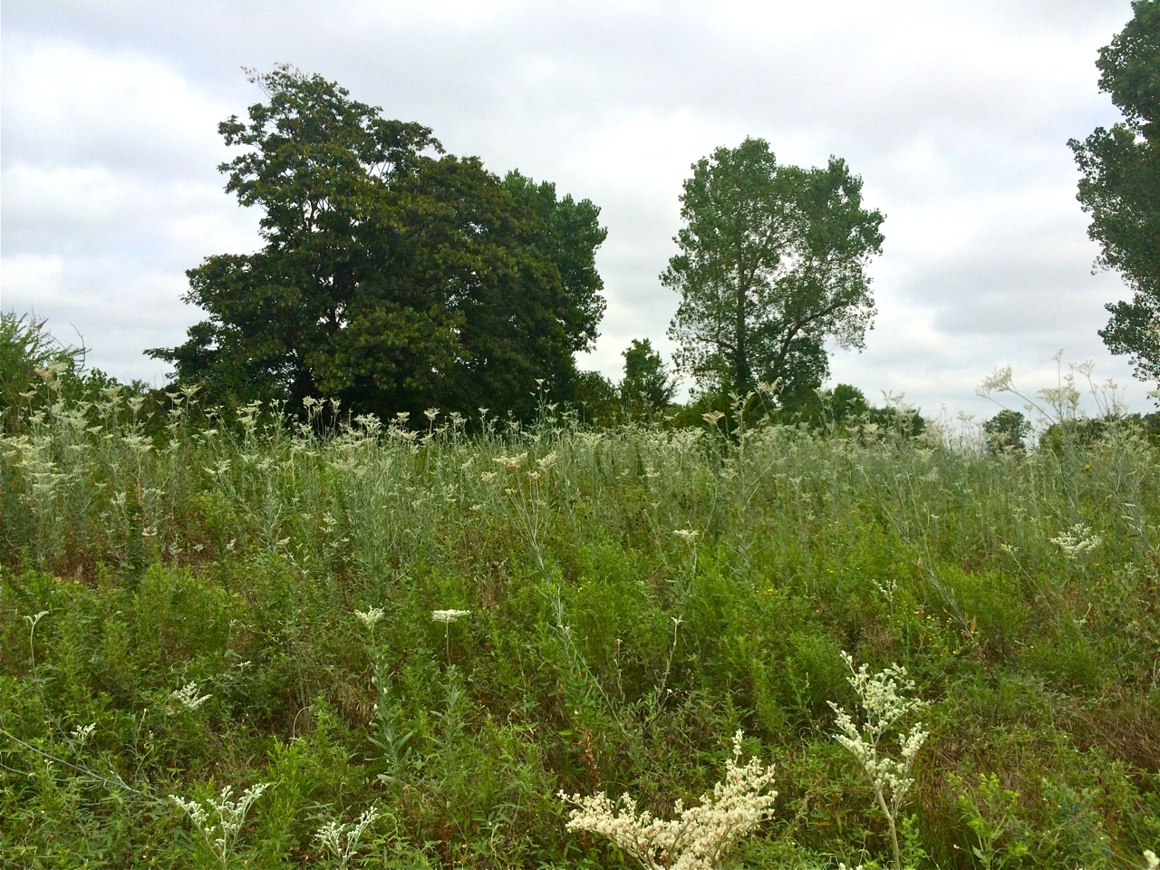 oklahoma native plants | Eco Landscaping
